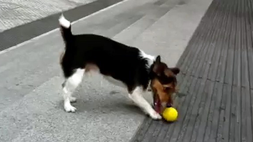 video jack russell terrier busca bola ethos animal adestramento de cães